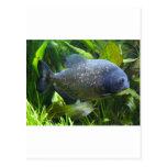 piranha post card
