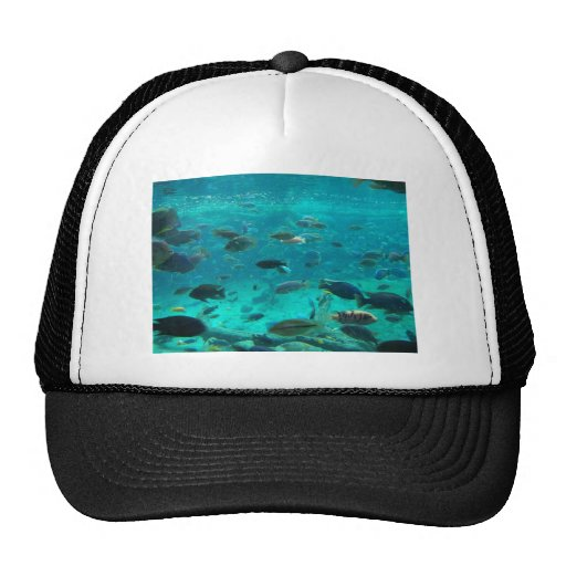 Piscina azul de los cichlids que nadan alrededor d gorra
