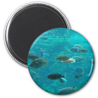 Piscina azul de los cichlids que nadan alrededor d imán de nevera