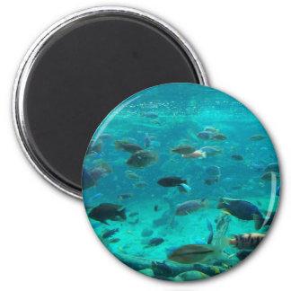 Piscina azul de los cichlids que nadan alrededor d imanes