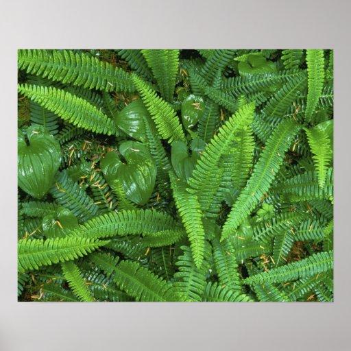 Piso del bosque, selva tropical de Quinault, NP ol Impresiones