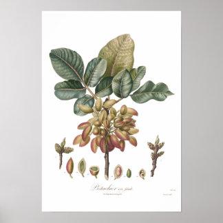 Pistachio nut,Pistacia vera Poster