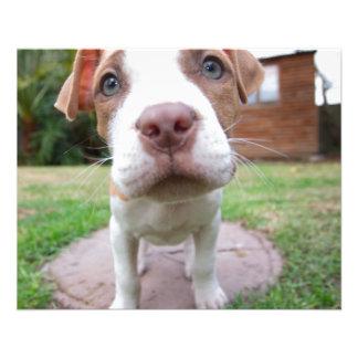 pit bull dog brown nose close flyer