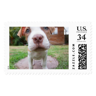 pit bull dog brown nose close postage