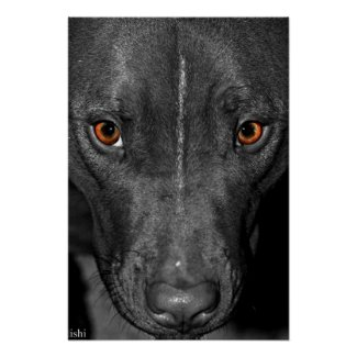 Pit Bull Eyes. In Black and White and Color Poster