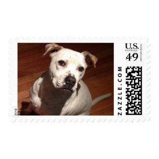 Pit Bull Postage Stamp