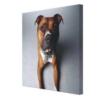 Pit Bull Terrier Lying Down Canvas Print