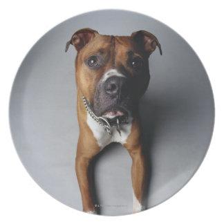Pit Bull Terrier Lying Down Dinner Plate