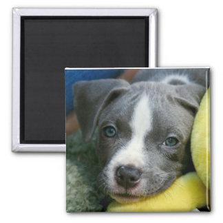 """Pit Bull Terrier Pup Magnet - """"Mikey"""""""