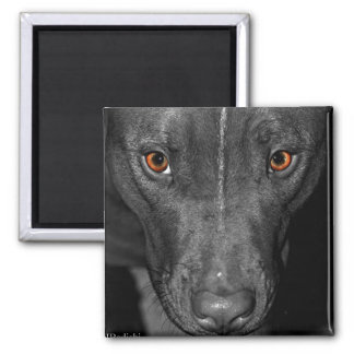 Pit Bull's Eyes (Black and white, color) Magnet