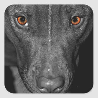 Pit Bull's Eyes (Black and white, color) Square Sticker