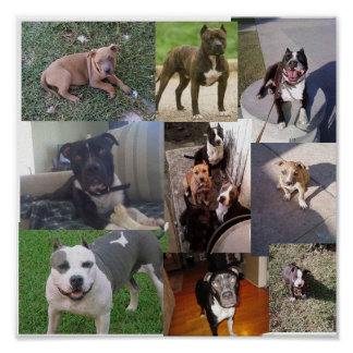 PITBULL BREED COLLAGE POSTER