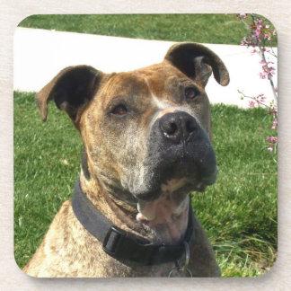 Pitbull dog drink coaster