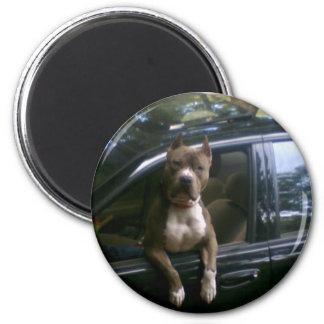 Pitbull dog in car magnet