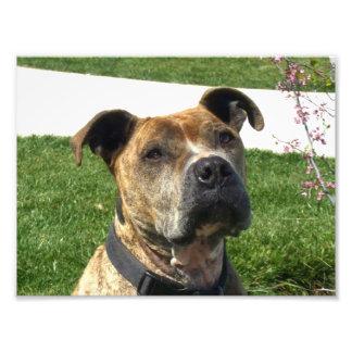 Pitbull dog photo print