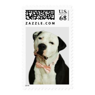 Pitbull en una pajarita sellos postales