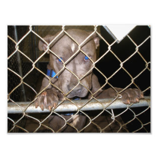 Pitbull gris triste con las patas en la cerca fotografías