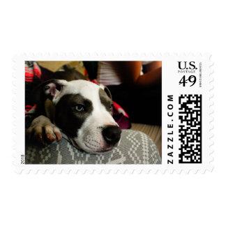 Pitbull Puppy Bentley Stamp