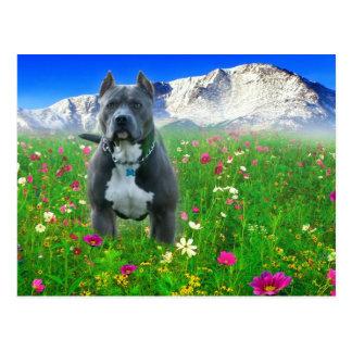 Pitbull Terrier americano azul, pico de los lucios Postal