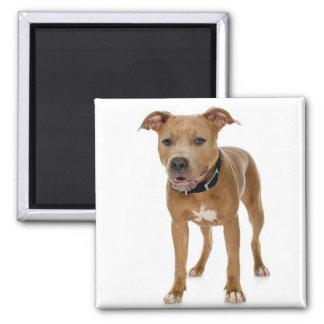 Pitbull Terrier americano Iman De Frigorífico