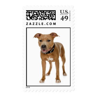 Pitbull Terrier americano Franqueo