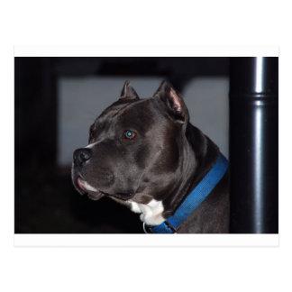 Pitbull Terrier americano Tarjetas Postales