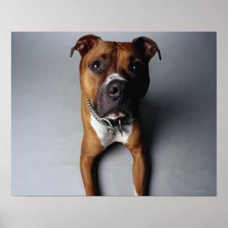 Pitbull Terrier que se acuesta Impresiones