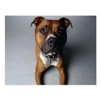 Pitbull Terrier que se acuesta Tarjeta Postal