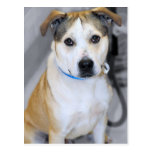 Pitbull/Yellow Labrador Retriever Mix Postcards