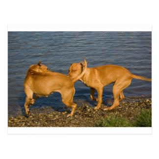 pitbulls en amor tarjeta postal