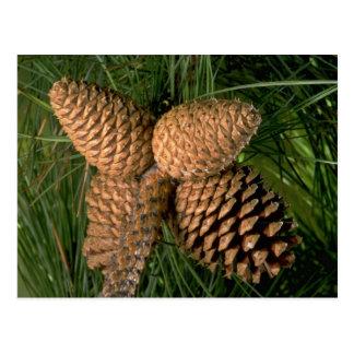 Pitch pine tree fruit (pinus rigida) postcard