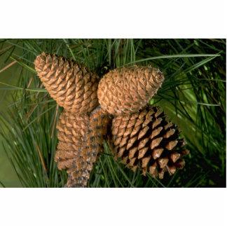 Pitch pine tree fruit (pinus rigida) statuette