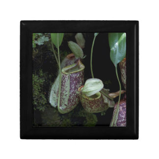 Pitcher plant in National Orchid Garden Gift Boxes