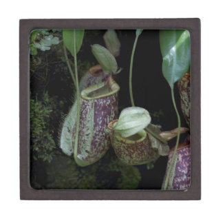 Pitcher plant in National Orchid Garden Premium Trinket Boxes