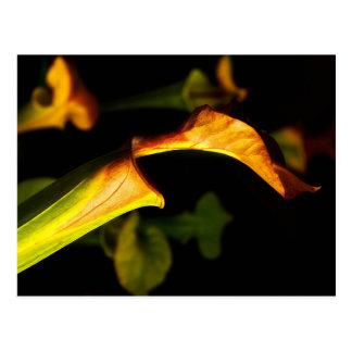 Pitcher Plant Postcard