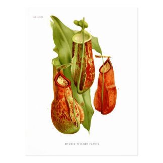 Pitcher plants postcard
