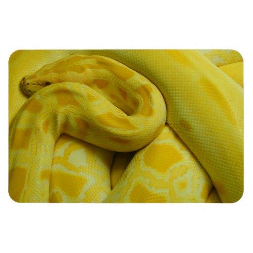 Pitón birmano amarillo imán foto rectangular