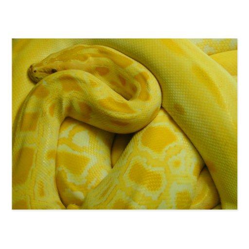 Pitón birmano amarillo postal