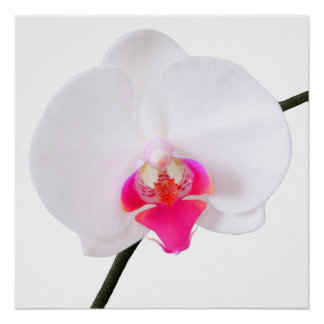 PixDezines phalaenopsis dorne/white orchid Posters