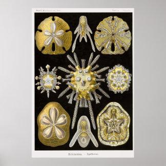 Placa 30 Echinidea Impresiones