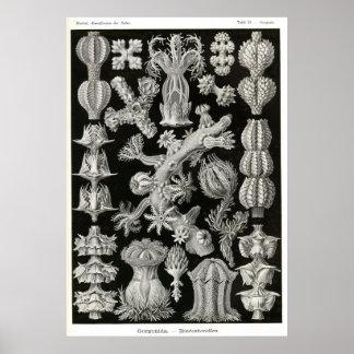 Placa 39 Gorgonia Póster