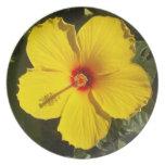 Placa amarilla del hibisco platos