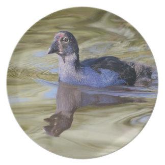 Placa del polluelo de Pukeko Platos