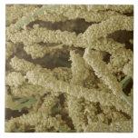 Placa-formación de las bacterias, coloreadas explo azulejo ceramica