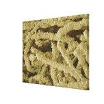 Placa-formación de las bacterias, coloreadas explo lona estirada galerias
