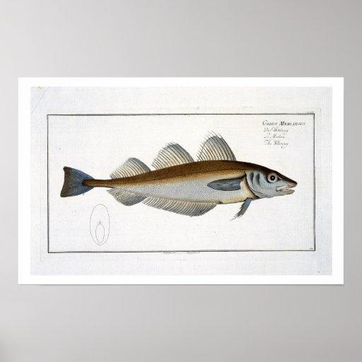 Placa LXV de las pescadillas (Merlangus del Gadus) Posters