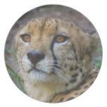 Placa salvaje del guepardo plato