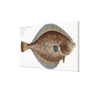 Placa XLII de la platija (Pleuronectes Platessa) d Lona Envuelta Para Galerias