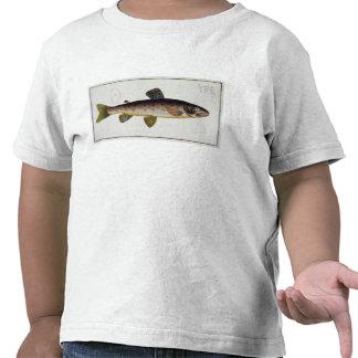 Placa XXIII de la trucha de Brown (Salmo Camiseta
