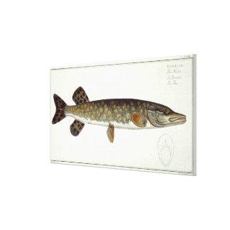 Placa XXXII de Pike (Esox Lucio) de 'Ichthyologie, Lona Envuelta Para Galerias